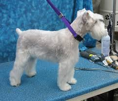 schnauzers hair cuts 7 pageant worthy schnauzer dog haircuts hairstylec