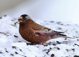 snow birds 10 birds to look for in winter u2013 cool green science