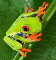 eyed tree frogs belize animals caribbean critters