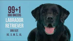 afghan hound and labrador retriever labrador retriever 99 1 dog breeds youtube