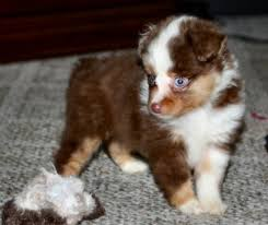 lifespan of australian shepherd blue horizon toy australian shepherds