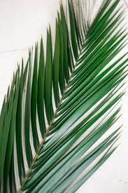 natural preserved phoenix palm leaves 16 24in