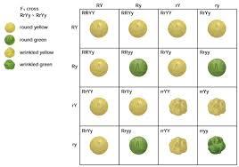 Dihybrid Cross Punnett Square Worksheet Objectives 1 10 Mendel Biology 3201