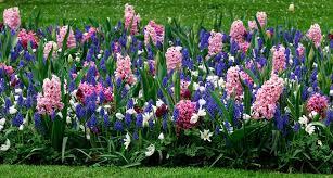hyacinth flower hyacinths growing and care of hyacinth flowers garden design