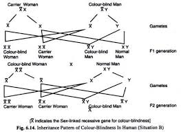 Incidence Of Color Blindness Useful Notes On Linked Inheritance In Human With Diagram