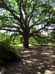 the live oak tree jan s reflections