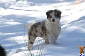 australian shepherd breeders los angeles australian shepherd puppies for sale