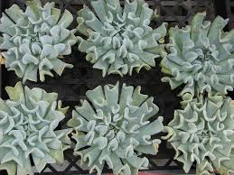 13 succulents that are native the most unusual succulent plants for your garden