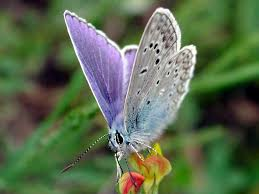 blue butterfly photos of insects