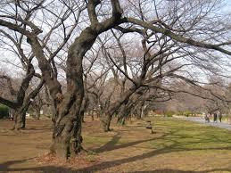 file koishikawa botanical gardens tokyo trees in winter jpg