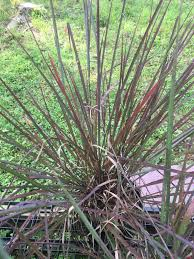 andropogon gerardii october grass ornamental big bluestem 1
