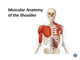 Muscle Anatomy Of Shoulder Windsor University Of Medicine St Kitts Ppt Video Online