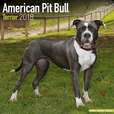 american pitbull terrier apbt american pit bull terrier calendar only dog breed american pit