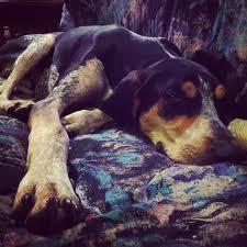 bluetick coonhound vs redbone coonhound 11 best hounds images on pinterest
