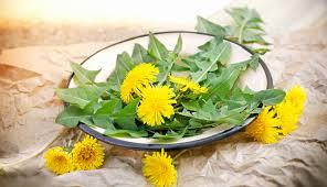 Dandelion Facts Dandelion Herb History Health Benefits Nutrition Facts Side