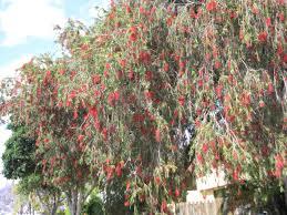 brisbane native plant nursery change bunnings weeds for natives