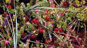 cranberry bog new jersey pine barrens pinterest pine