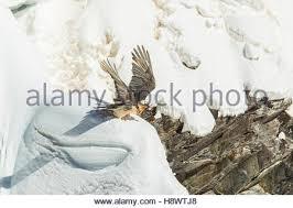Seeking Vulture Bearded Vulture Gypaetus Barbatus Seeking A Bone In The Snow