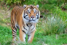 endangered sumatran tiger coming out of the jungle in a wildlife
