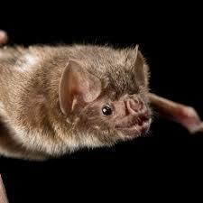 common vampire bat national geographic