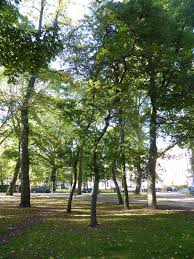 trees of the edinburgh and bruntsfield links