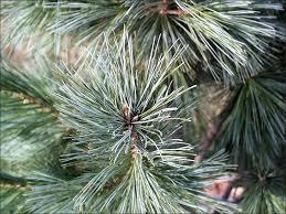 white pine trees isu forestry extension tree identification white pine pinus