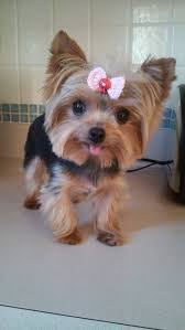 1335 best yorkie love images on pinterest yorkies animals and