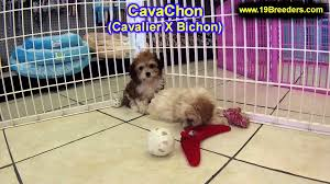 cavachon puppies for sale in duluth minnesota county mn