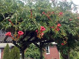 beautiful trumpet vine trellis 51 on with trumpet vine trellis home