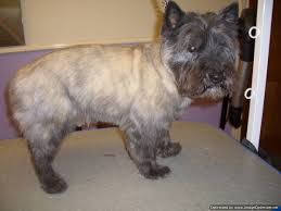 cairn hair cuts 31 lastest cairn terrier haircut dohoaso com