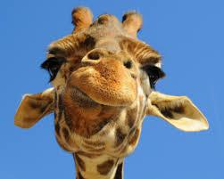 new baby giraffe desktop background hd 2667x1667 deskbg com