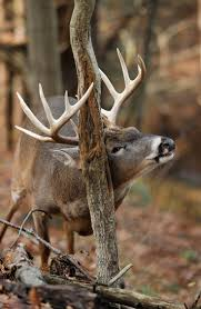 91 best deer images on pinterest hunting stuff whitetail bucks 2014 rut predictions a deerdeer ruthunting