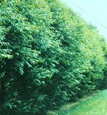 50 hybrid willow trees austree grows 12 foot 1st