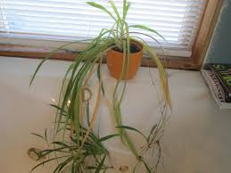 Spider Plant The Ugly Spider Plant A Miraculous Ride