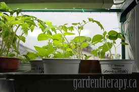 Grow Lights For Indoor Plants Canada by Grow Light Shelving For Seed Starting Indoors Garden Therapy