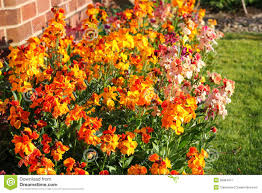 wall flowers wallflowers erysimum stock image image of colorful 39964977