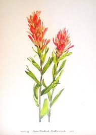 indian paintbrush flower indian paintbrush on lavender fields flowers and