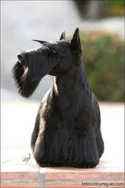 scottish yerrier haircuts unleashed westminster s best in show sadie to make grand hotel