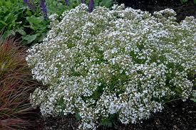 baby s breath flower festival hardy baby s breath gypsophila paniculata