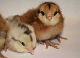 buy easter egger chickens for sale tx easter egger up only backyard