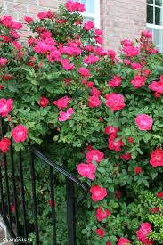 Rose Trellis Plans 274 Best The Knock Out Family Of Roses Images On Pinterest