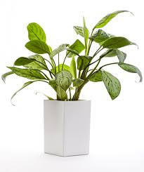 the best indoor plants office plants for brisbane including