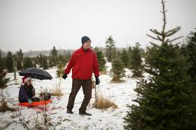 picking your own at krueger u0027s christmas tree farm startribune com