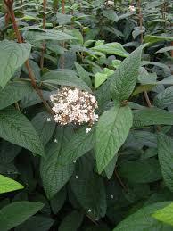 native plants for shade dart u0027s duke u0027 lantanaphyllum viburnum carolyn u0027s shade gardens