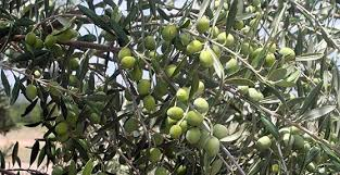 best olives to grow in