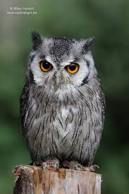 white owl 2 wallpapers owl pictures southern white faced owl ptilopsis granti