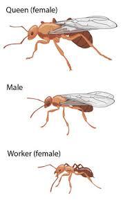 ant anatomy asu biologist