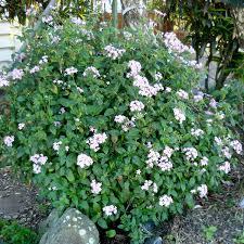 Pentas Flower Pentas Lanceolata Queensland Gardening Pages Plants U0026 Gardens