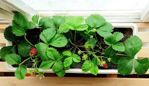 what is the best lighting for growing indoor best lighting for growing strawberries indoors complete guide