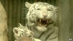 Tigres brancos são apresentados na República Tcheca